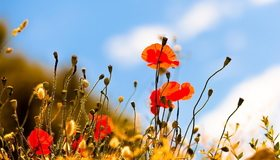 Картинка: Растение, мак, самосейка, стебли, цветки, небо