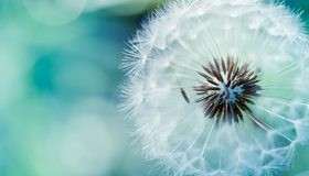 Картинка: Одуванчик, белый, пушинки, семена