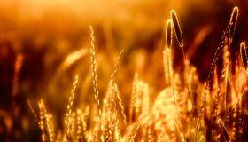 Картинка: Колосья, пшеница, камыш, трава, стебли, свет