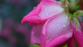 Картинка: Роза, розовая, цветок, роса, капли