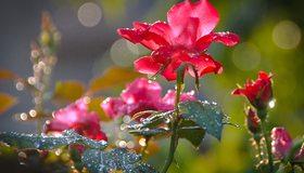 Картинка: Цветок, красный, стебель, листья, шипы, капли