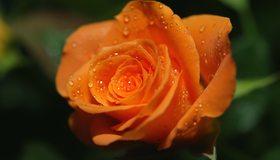 Картинка: Цветок, оранжевый, роза, капли, лепестки