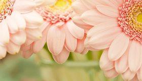 Картинка: Цветы, розовые, лепестки