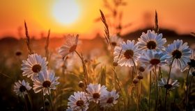 Картинка: Ромашки, цветы, травинки, закат, солнце, поле