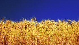Картинка: Пшеница, колосья, золотые, зерно, растение, небо, синее