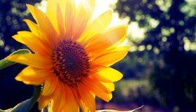 Картинка: Подсолнух, растение, лето, лучи солнца