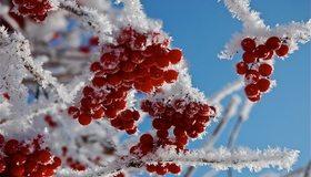 Картинка: Рябина, красная, иней, снег, снежинки, зима, ветки, небо