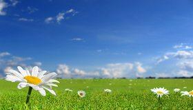 Картинка: Ромашки, поле, трава, небо, облака