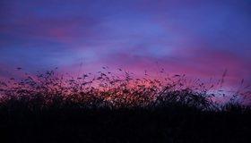 Картинка: Камыш, растение, закат, небо, вечер