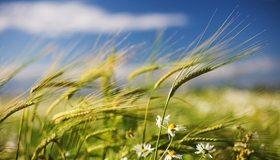Картинка: Злаки, пшеница, колос, ромашка, поле, ветер, макро, размытость