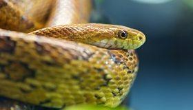 Картинка: Змея, рептилия, чешуя, голова, глаз, боке