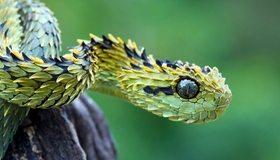 Картинка: Гадюка, змея, чешуя, глаз, древесина