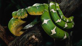 Картинка: Зелёный древесный удав, голова, глаза, кожа, чешуя, дерево, кора