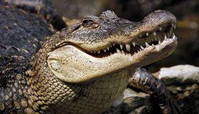 Картинка: Аллигатор, крокодил, рептилия, хищник, греется, зубы, пасть