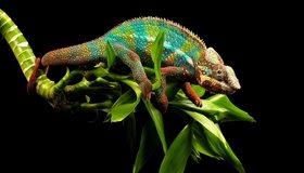 Картинка: Хамелеон, чешуя, цвет, растение, листья, темный фон