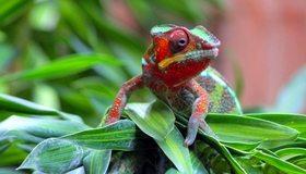 Картинка: Хамелеон, глаза, лапы, растение, листья