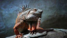 Картинка: Игуана, чешуя, рептилия, глаз, камень