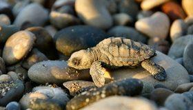 Картинка: Черепашка, маленькая, панцирь, греется, камни, солнце, тень