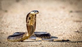 Картинка: Кобра, змея, аспиды, пустыня