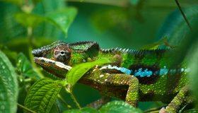 Картинка: Хамелеон, кожа, чешуя, лапы, глаза, ветки, листья, зелёный