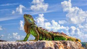 Картинка: Игуана, рептилия, зелёная, лапы, тело, голова, глаз, чешуя, камень, небо, облака