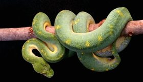 Картинка: Змея, чешуя, ветка, висит, Собакоголовый удав, зелёный, Зелёный древесный удав