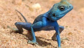 Картинка: Агама, ящерица, чешуя, тело, синяя, песок, пустыня