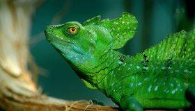 Картинка: Ящерица, рептилия, василиск, зелёная, глаз, гребень, пятна, чешуя