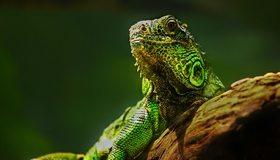 Картинка: Ящерица, рептилия, зелёная игуана, дерево, смотрит, греется