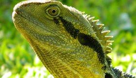 Картинка: Ящерица, взгляд, зелёный, кожа