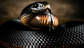Картинка: Чёрная мамба, змея, язык, глаз, брюхо