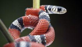 Картинка: Змея, чешуя, рептилия, глаз, окраска, стебли