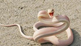 Картинка: Змея, глаза, чешуя, кожа, пасть, шипит, извивается