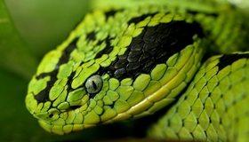 Картинка: Змея, голова, глаз, ноздри, зеленая, чешуя