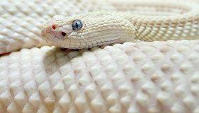 Картинка: Змея, кожа, чешуя, глаза, белая