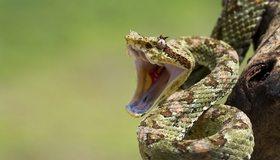 Картинка: Змея, пасть, шипит, шкура, чешуя, глаз