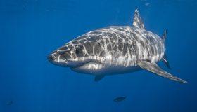 Картинка: Акула, рыба, хищник, плавник, нос, свет