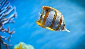 Картинка: Длиннорылая, рыба-бабочка, хелмон, полоски, жёлтая, кораллы