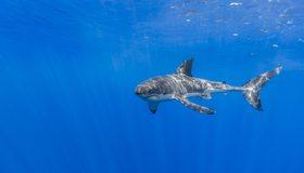 Картинка: Акула, белая, рыба, хищник, океан, кархародон, блики