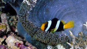 Картинка: Рыба-клоун, риф, актиния, щупальца