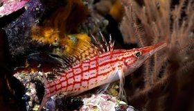 Картинка: Рыба, острый нос, плавники, глаз, полосы, кораллы, водоросли