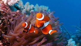 Картинка: Рыбки, две, кораллы, вода, морское дно, актиния, риф