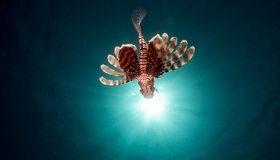 Картинка: Рыба, крылатка, полосы, свет, море
