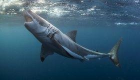 Картинка: Хищник, рыба, Белая акула, Кархародон, пасть, вода, поверхность