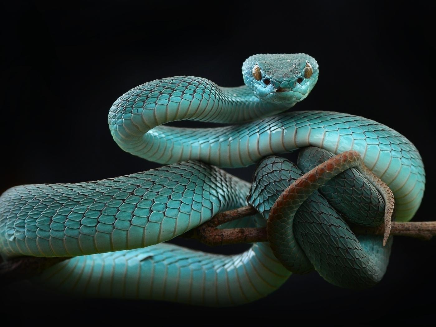 Картинка: Пресмыкающиеся, рептилия, змея, гадюка, голубая куфия, ветка, фон