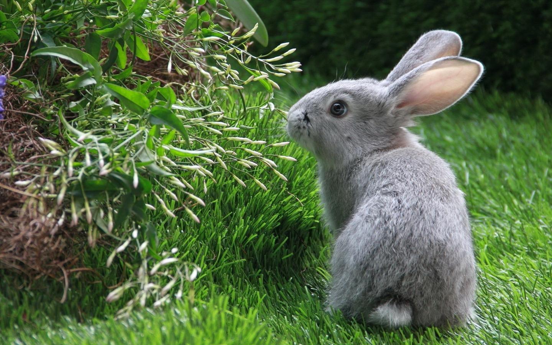Картинка: Кролик, трава, зелень, серый