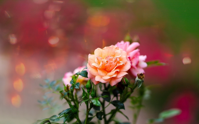 Картинка: Розы, цветы, красивые, размытый фон