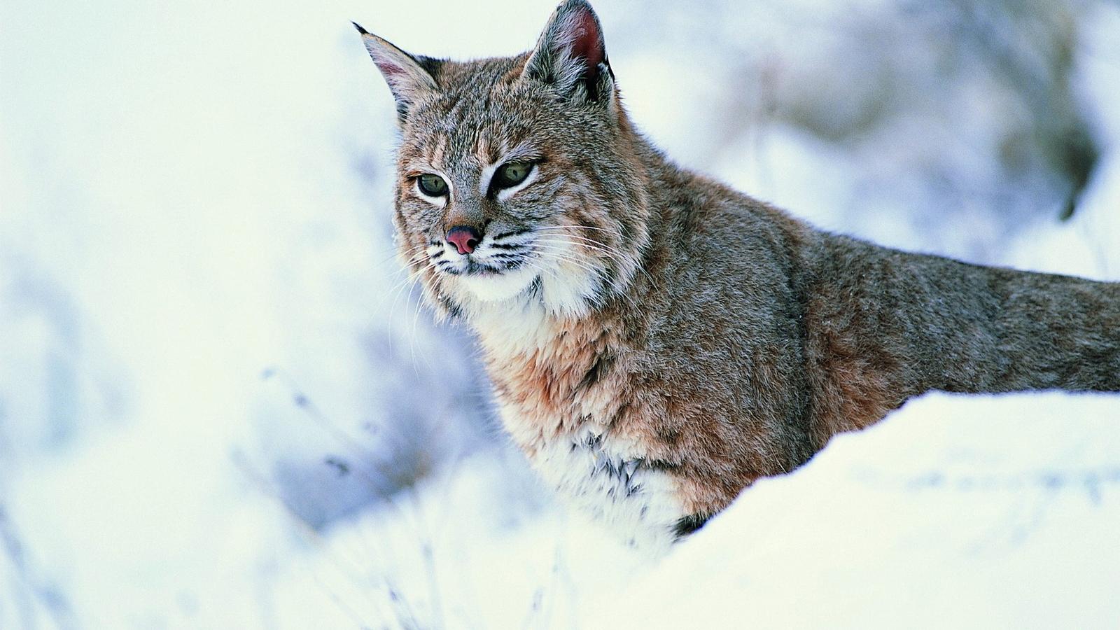 Картинка: Рысь, зима, снег