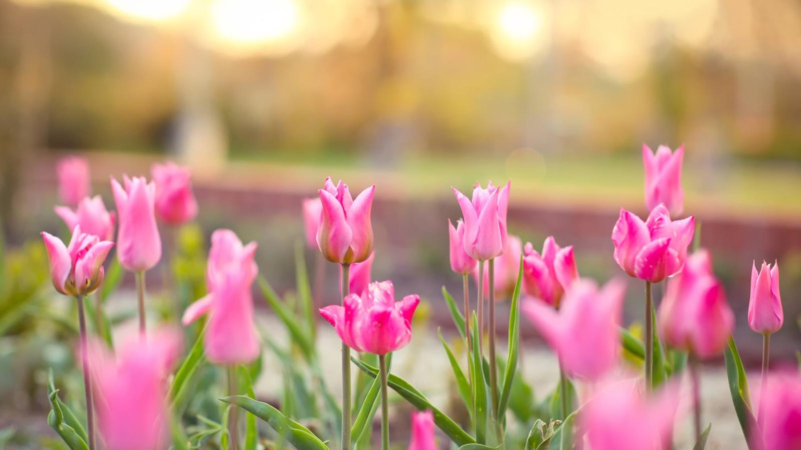 Image: Tulips, flowers, pink, flowerbed
