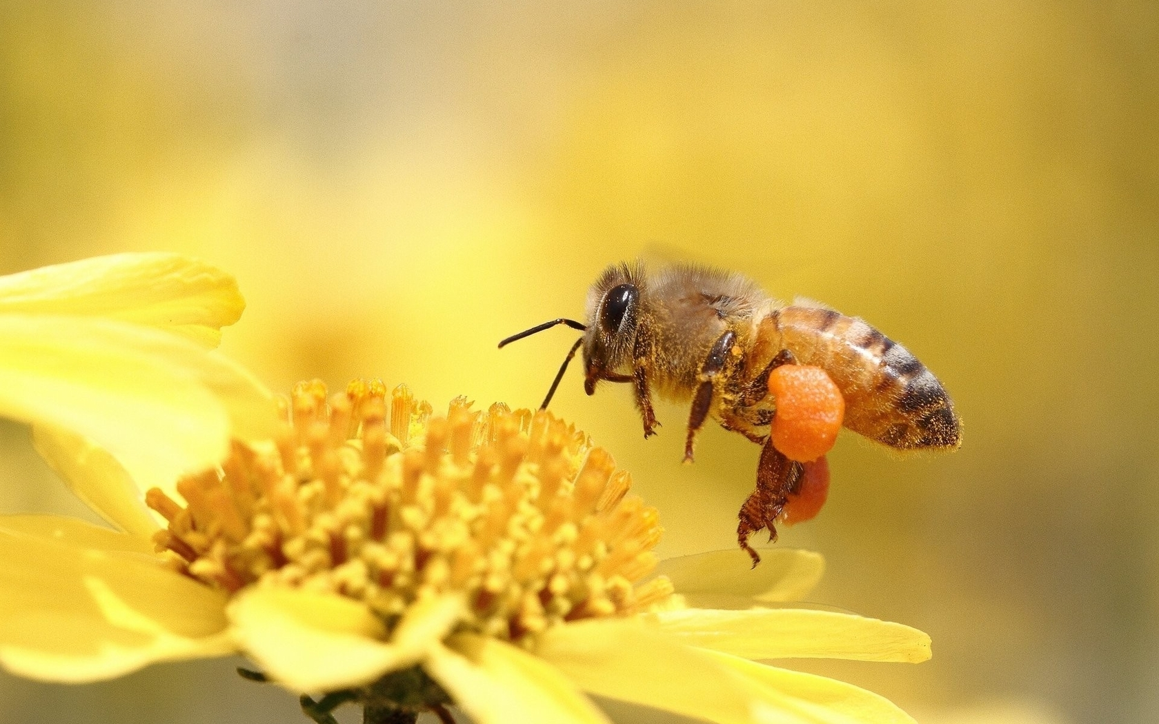 Картинка: Пчела, сбор, цветок, жёлтый